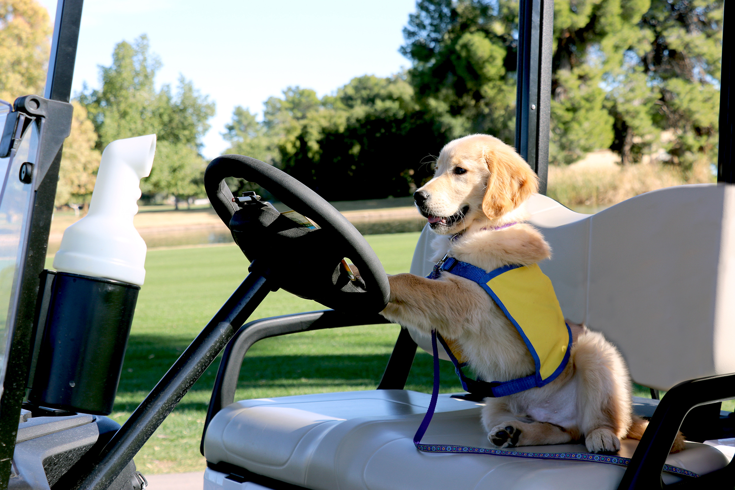 Canine Companions puppy driving golf cart, golf course