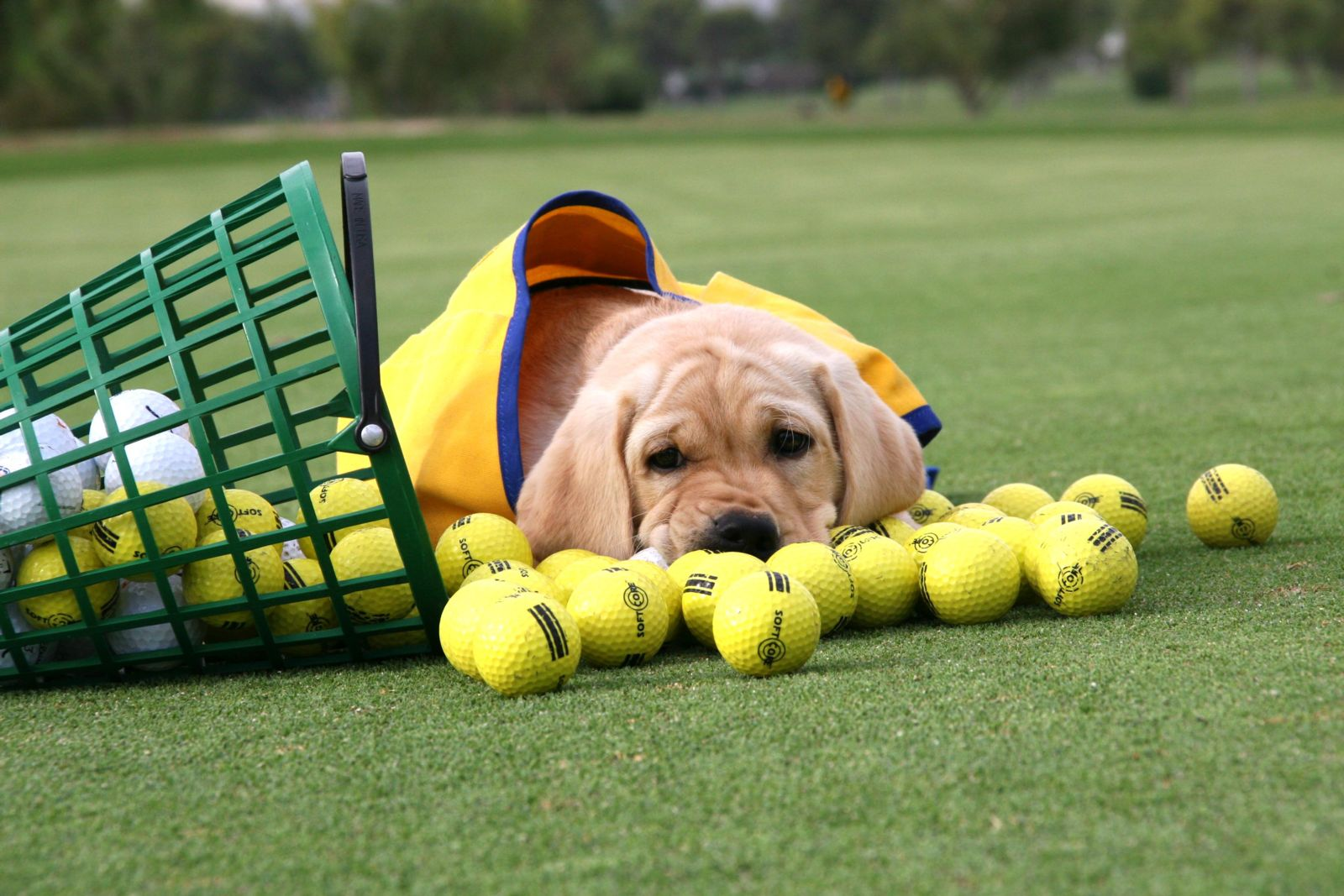 Canine Companions puppy  with golf balls, golf course
